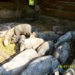 Bio-Schweinezucht